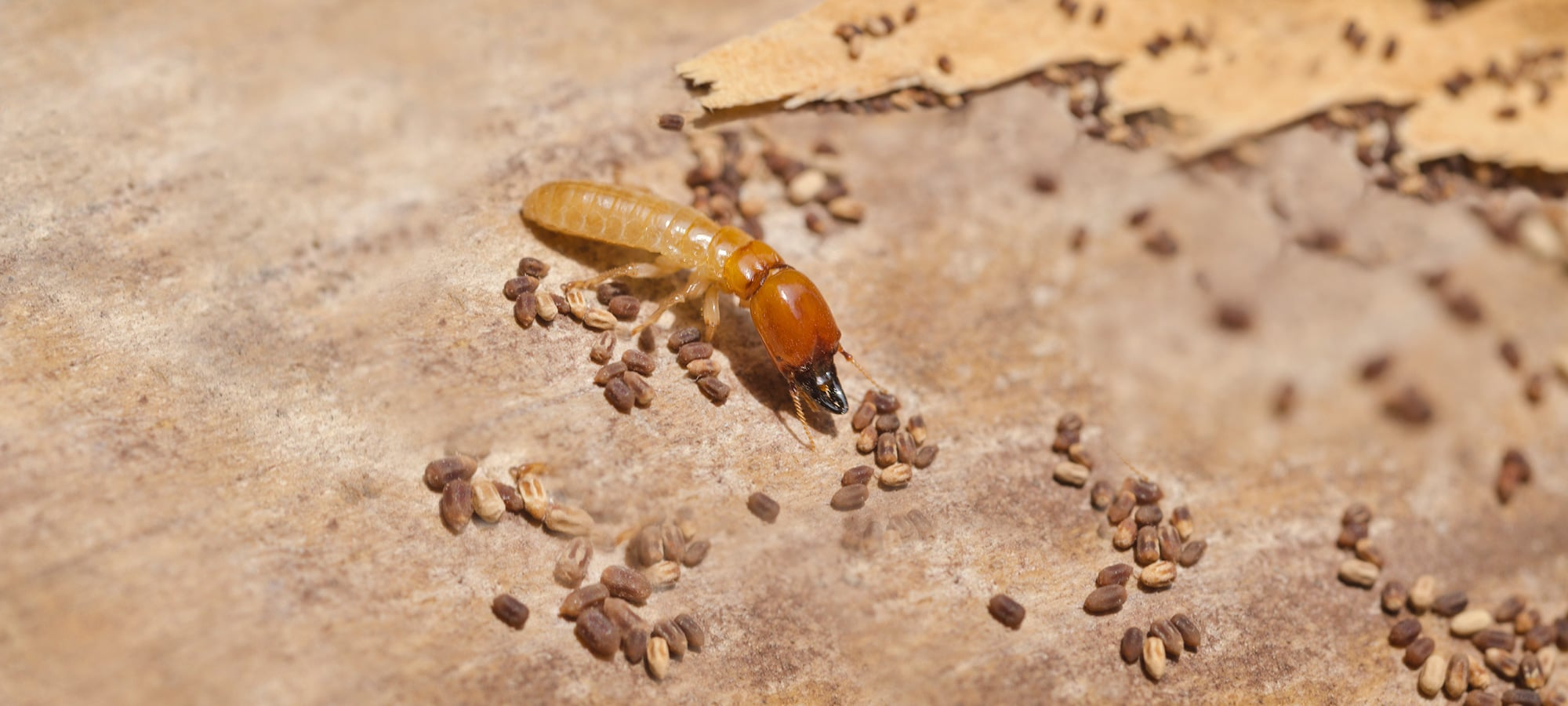 Image result for Termite Treatment Adelaide – Protect Your Property From Termites